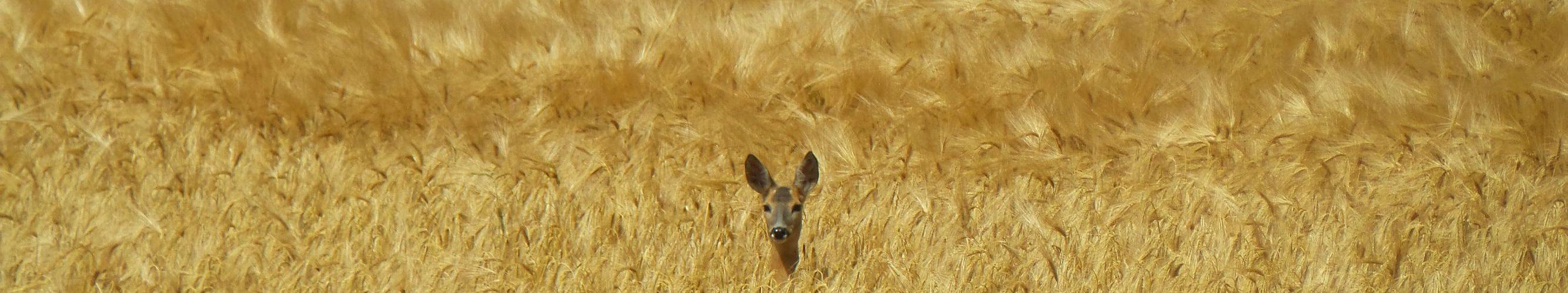 ree in korenveld